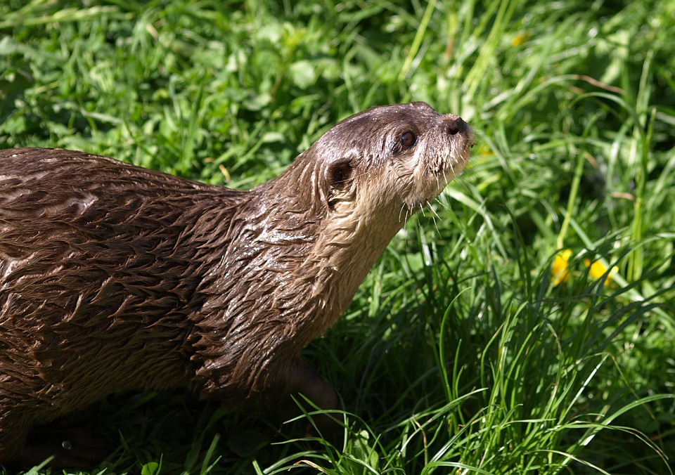 Otter, Animals, Fur, Wet, Curious, Cute, Furry