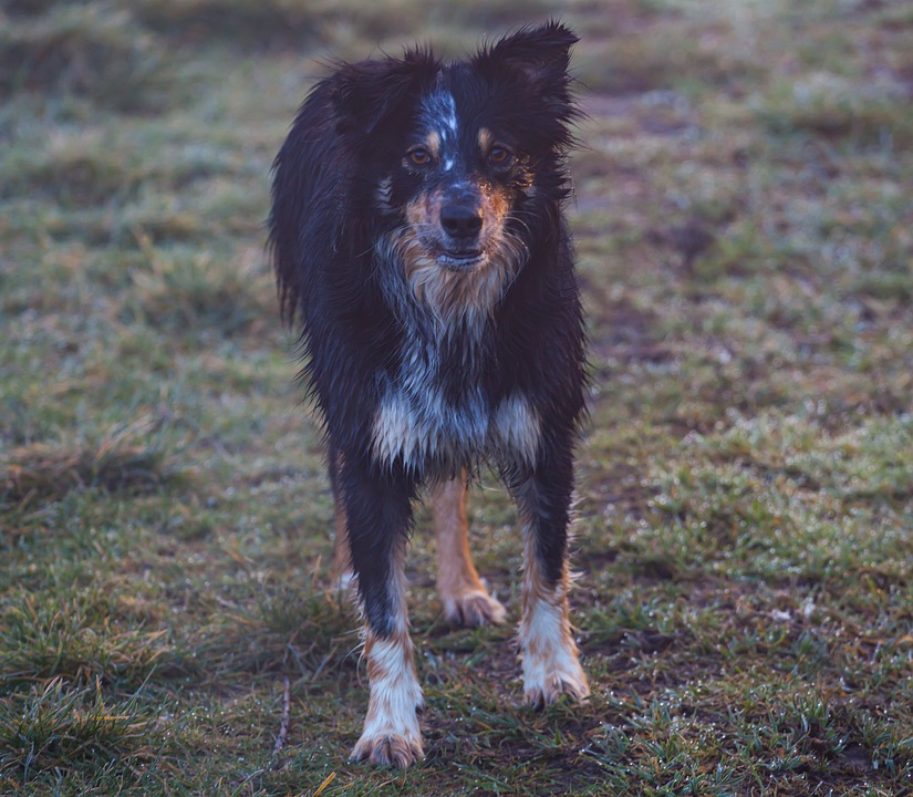 Border Collie, Wet Dog, Damp Dog, Dog At Sunrise