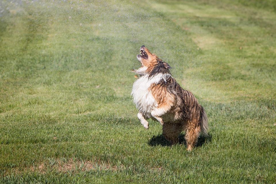 Shelti, Sprinkler, Wet Dog, Playful, Cute, Dog, Happy
