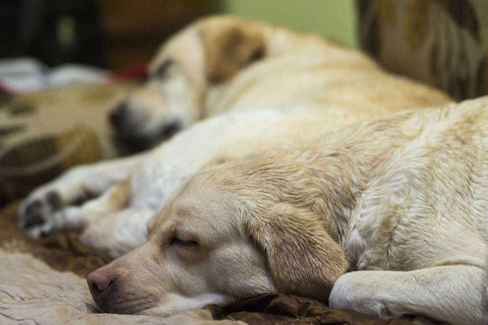 Labrador, Wet Dog, Sleeping Dog