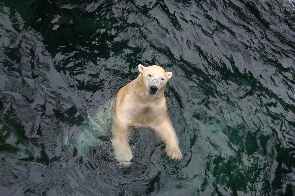 Polar Bear, Bear, Swim, Zoo, Yukon, Enclosure, Wet