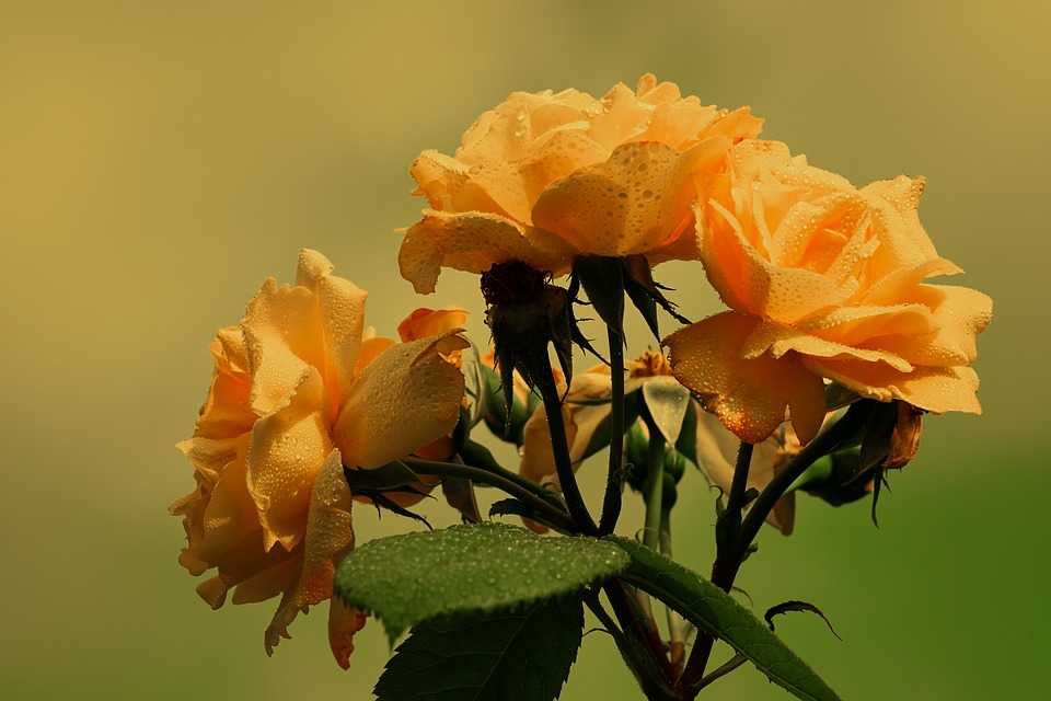 Roses, Bloom, Yellow, Orange, Flower, Wet, Floral