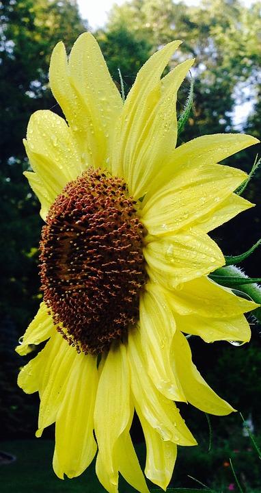 Sunflower, Nature, Garden, Bloom, Yellow, Wet