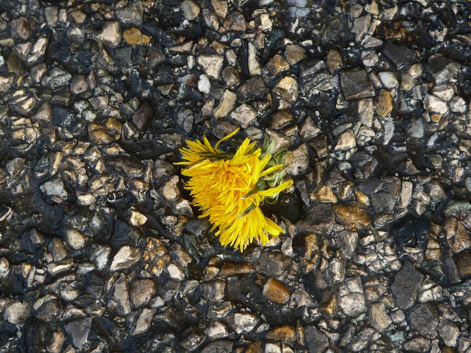 Dandelion, Tar, Gravel, A Flower, Groung, Wet, Yellow