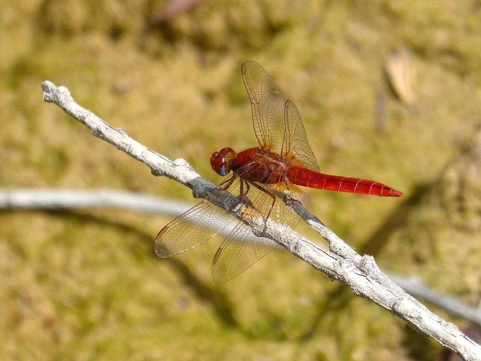 Red Dragonfly, Cañas, Wetland, Erythraea Crocothemis