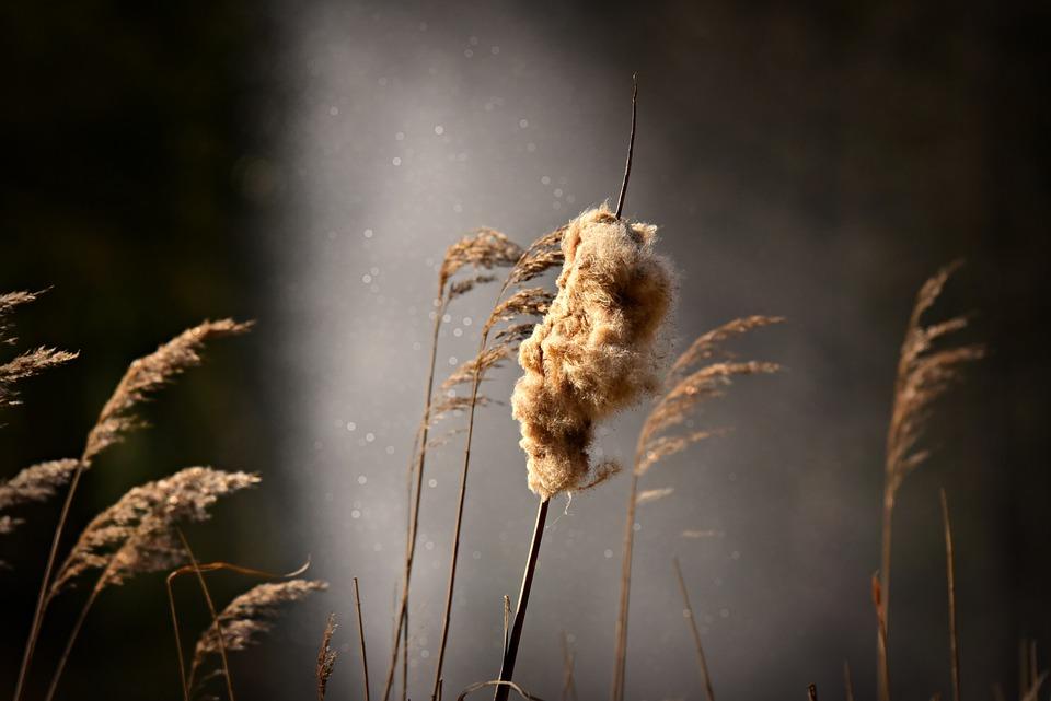 Bulrush, Wetland Plant, Fluff, Marsh, Cattail, Reed