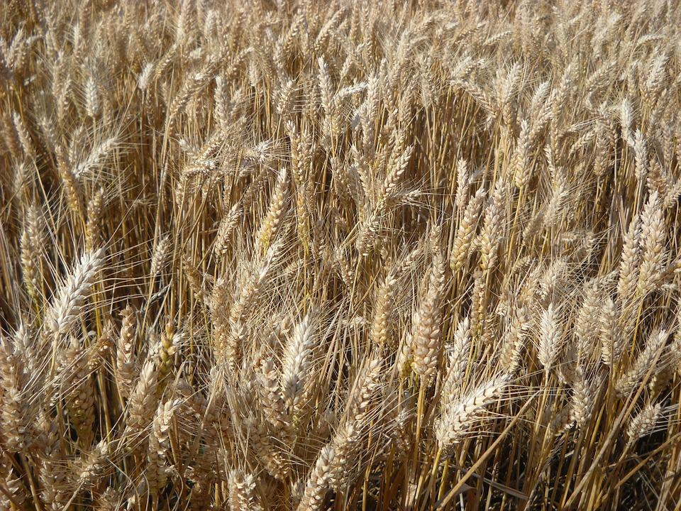 Wheat, Cereals, Agriculture