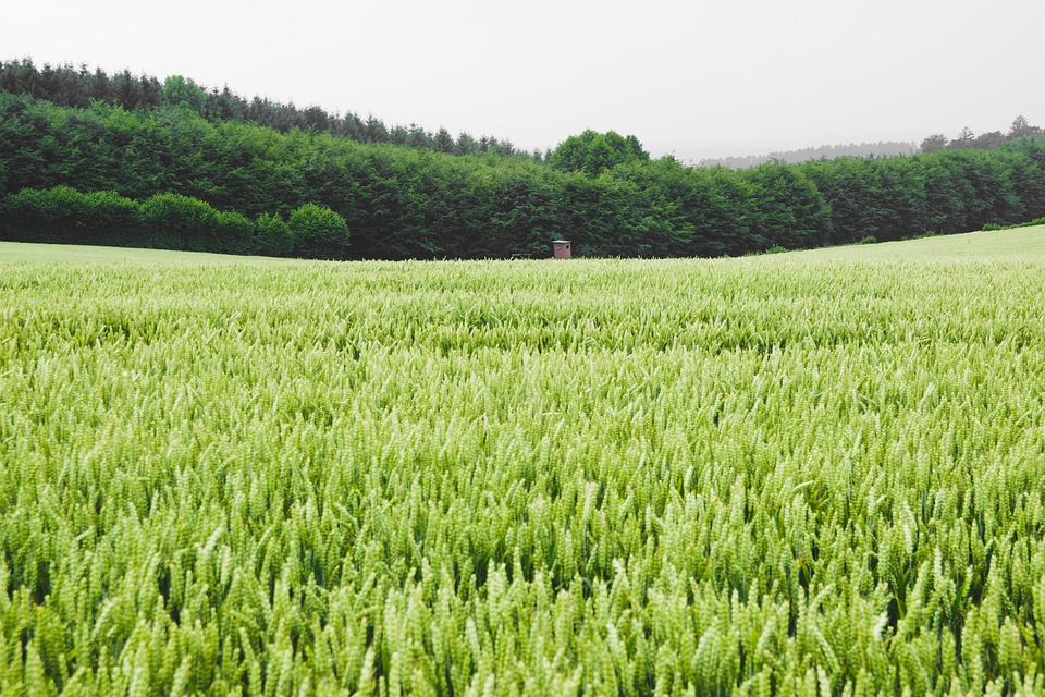 Field, Wheat, Corn, Agriculture, Green Wheat