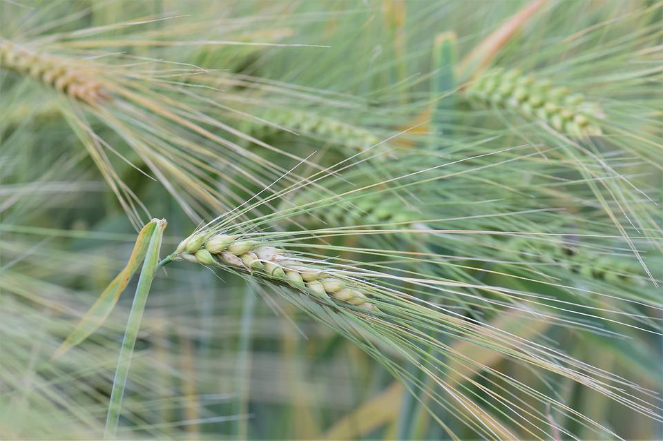 Wheat, Winter Wheat, Cereals, Field, Arable