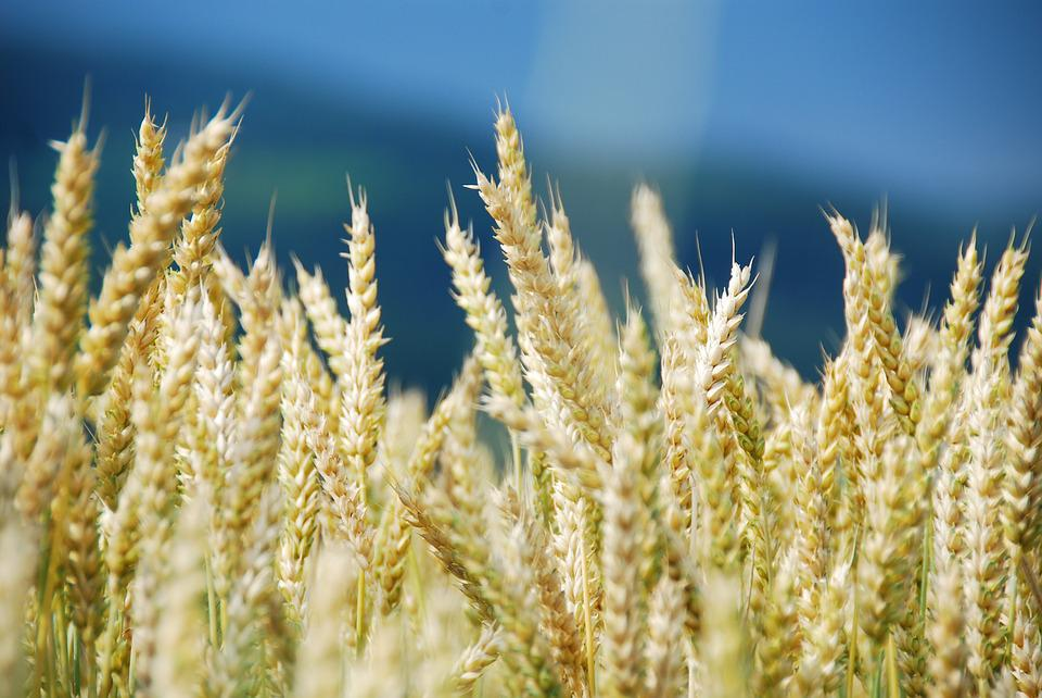 Wheat, Wheat Field, Cereals, Cornfield, Lighting