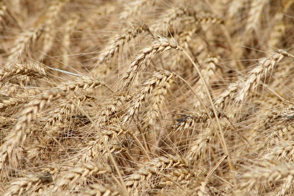 Sowing, Harvest, Wheat, Cornfield, Wheatfield, Grain