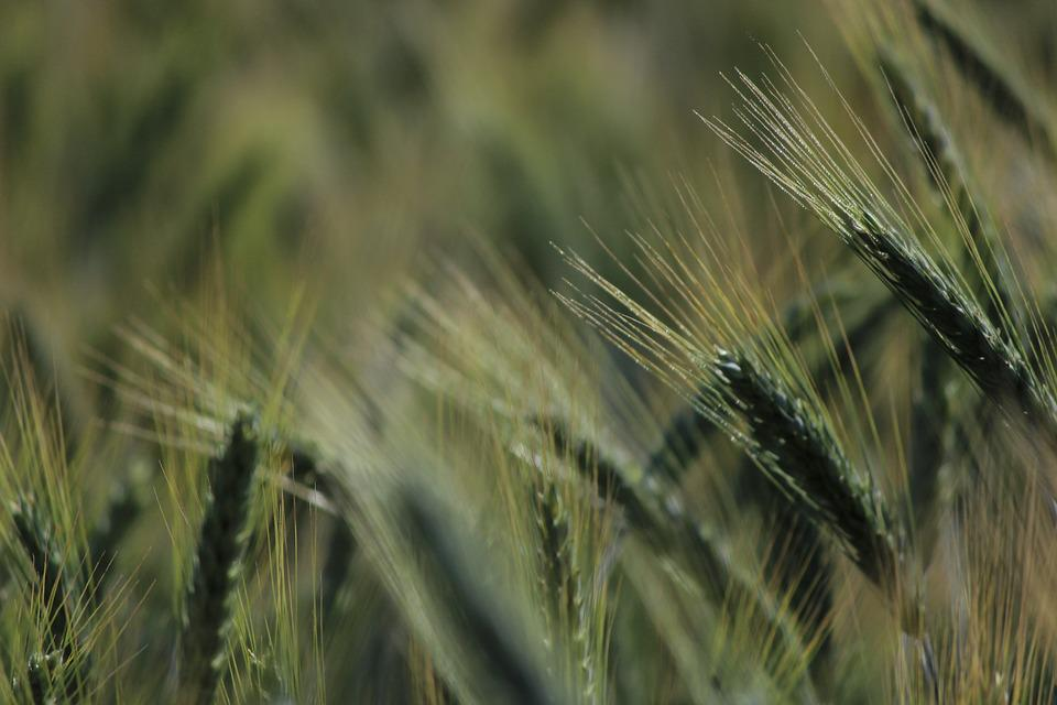 Cornfield, Spike, Wheat, Grain, Cereals, Field