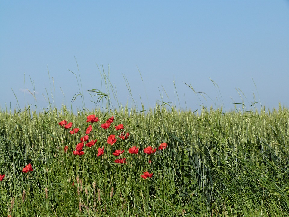 Field, Wheat, Epi, Poppy, Cultures, France, Summer