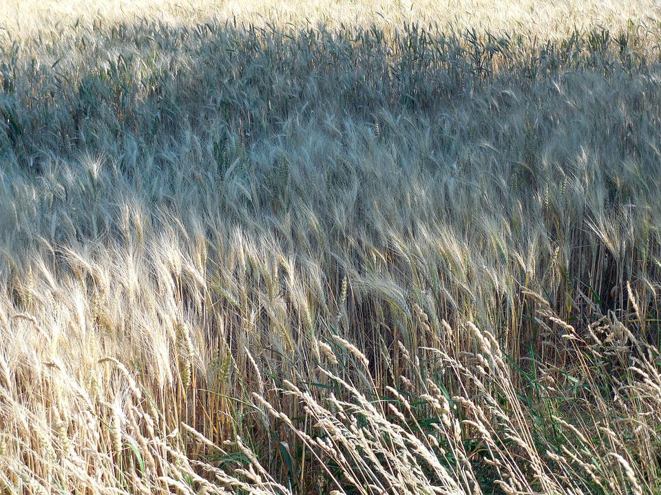 Wheat Field, Wheat, Field, Harvest, Cereals, Cornfield