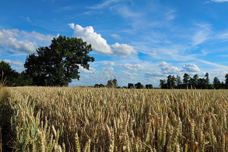 Harvest, Field, Cereals, Grain, Field Crops, Wheat