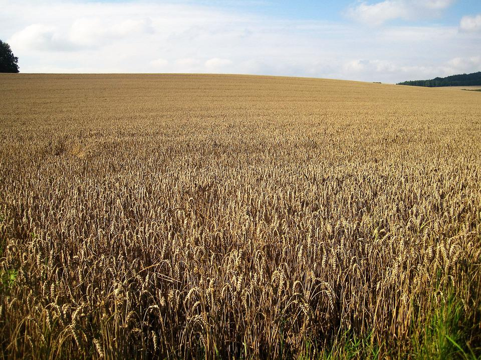 Wheat Field, Late Summer, Cornfield, Cereals