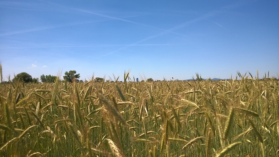 Cereals, Field, Nature, Agriculture, Wheat Field