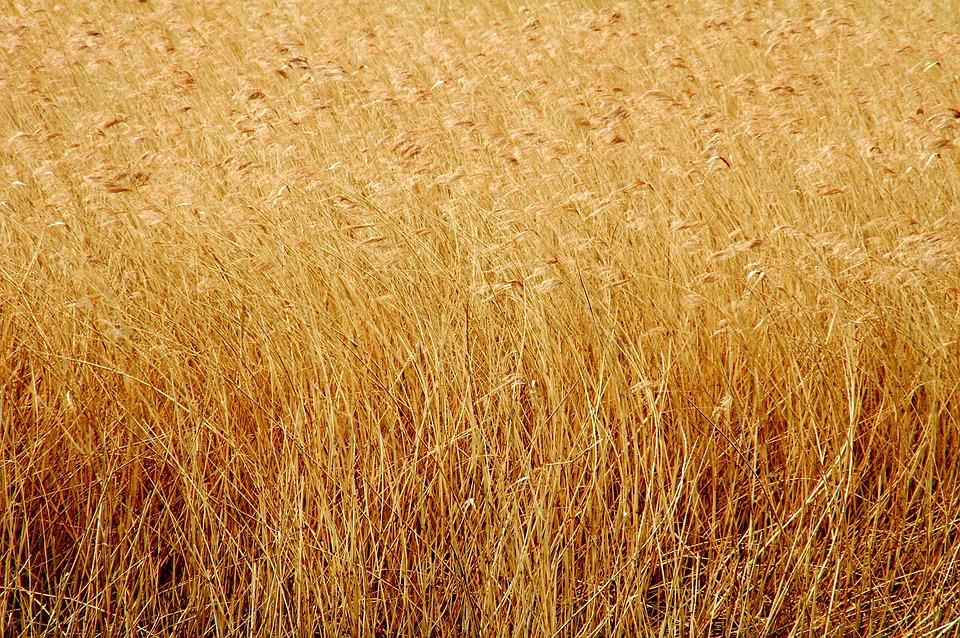 Field, Corn, Wheat, Field Of Wheat