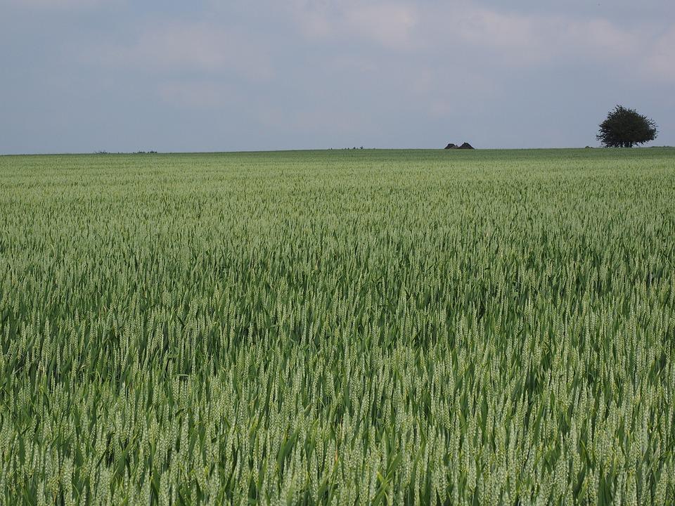 Wheat Field, Wheat, Wheat Spike, Cornfield, Spike