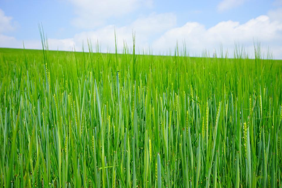 Wheat Field, Wheat, Seed, Sowing, Shoots, Young, Frisch