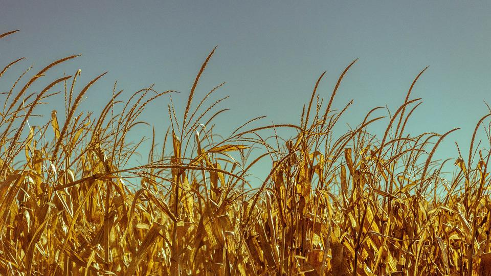 Wheat, Field, Crops, Cornfield, Grain, Cereals, Fields