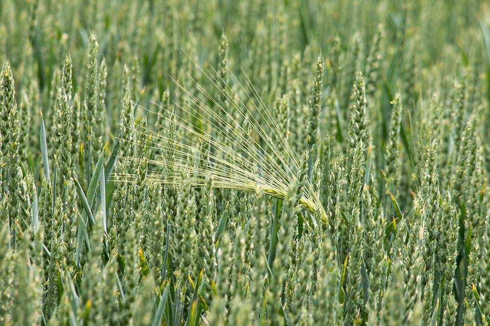 Wheat, Barley, Cereals, Grain, Spike, Field