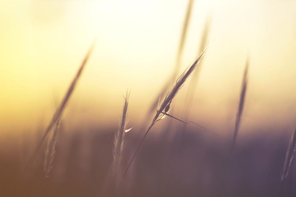 Grass, Macro, Nature, Wheat
