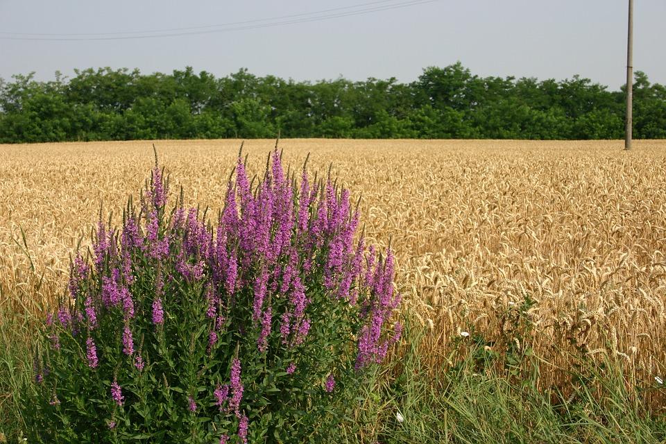 Landscape, Field, Wheat