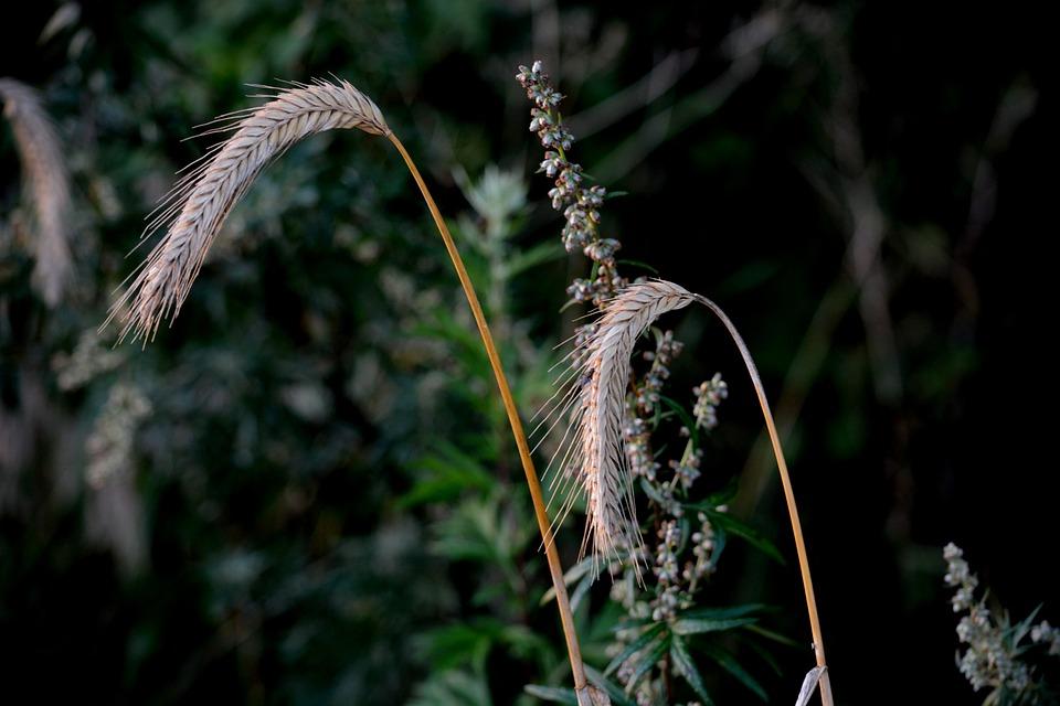 Landscape, Cereals, Wheat, Harvest, Holstein