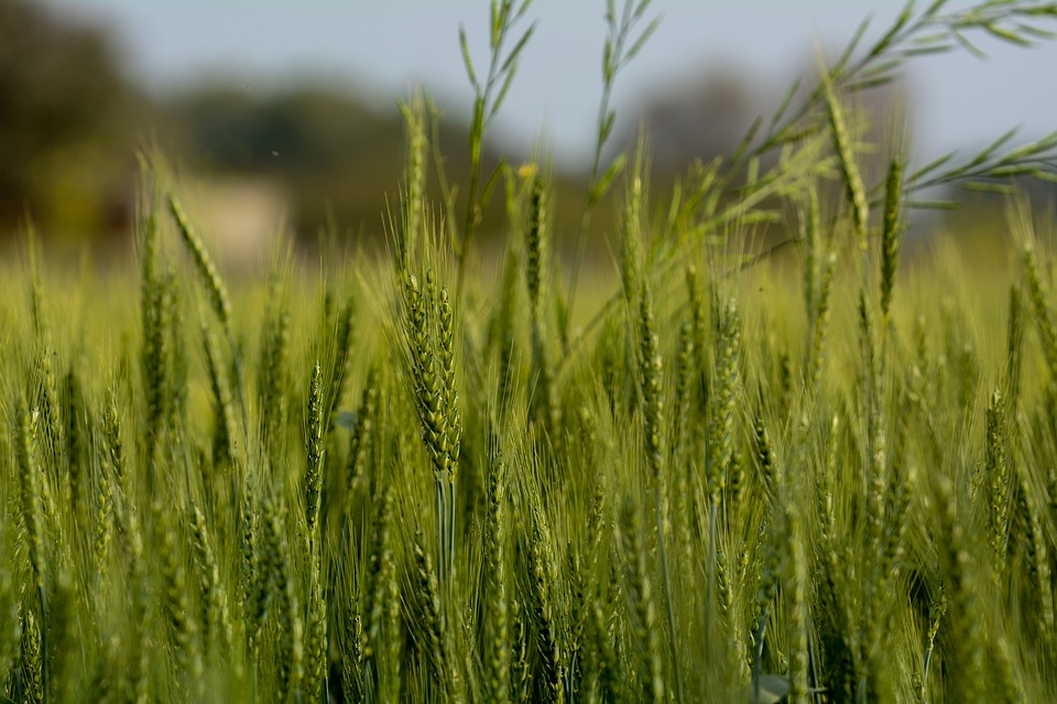 Wheat, Green, Plant, Agriculture, Harvest, Farm, Nature