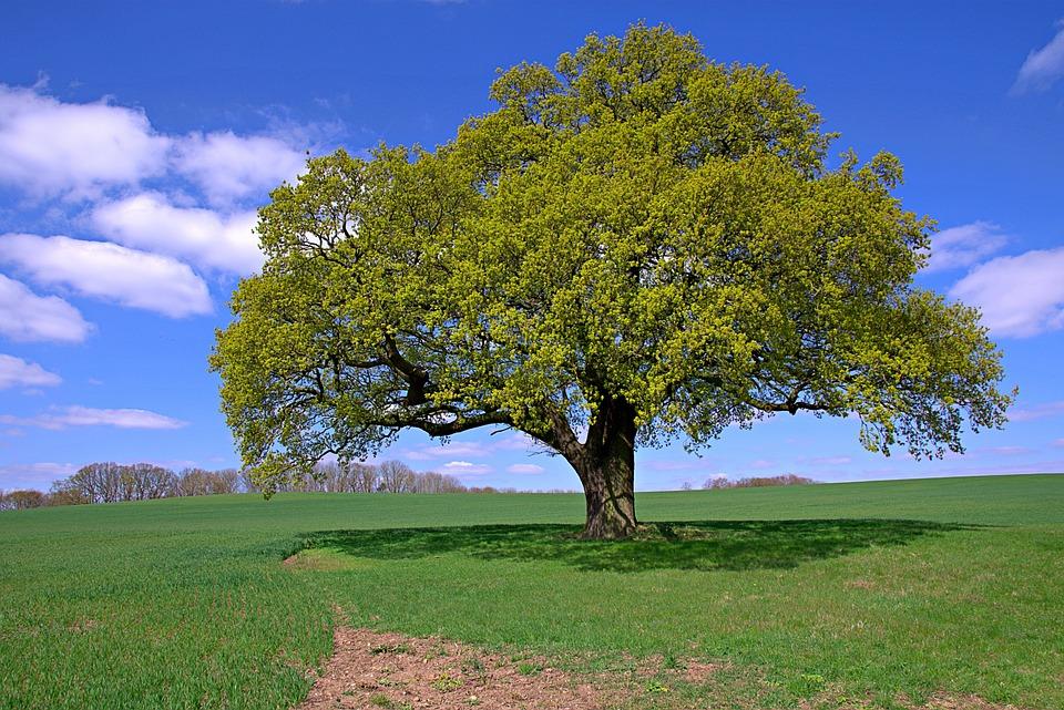 Lone Tree, Field, Wheat, Tree, Landscape, Nature, Sky