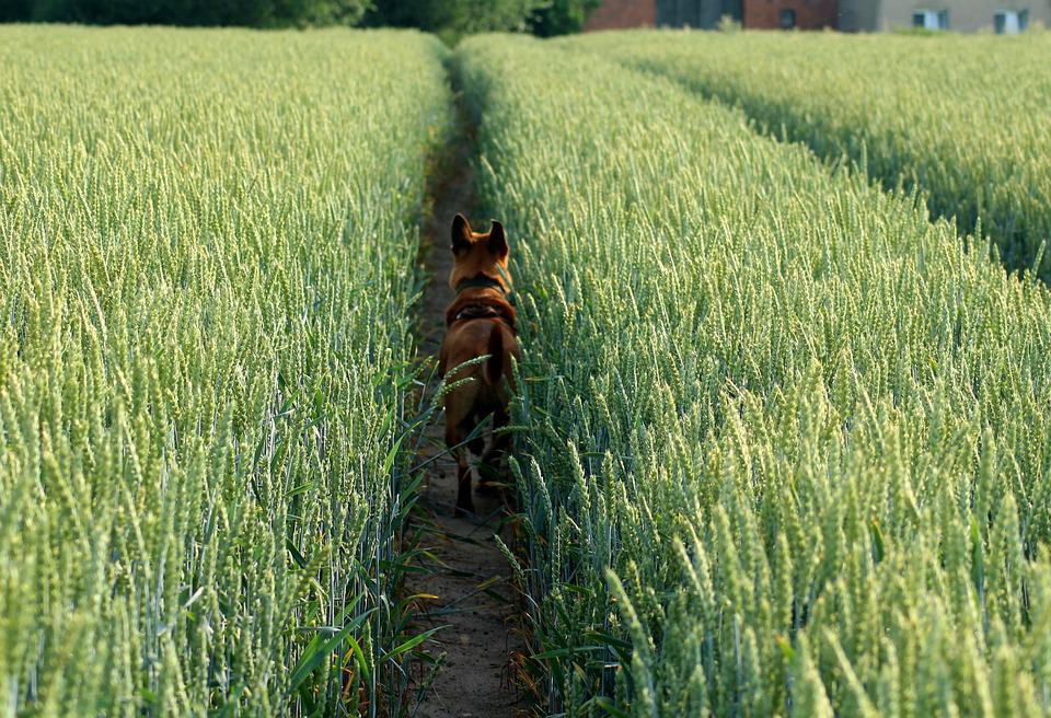 Field, Wheat, The Path, Spacer, Dog, The Road Home