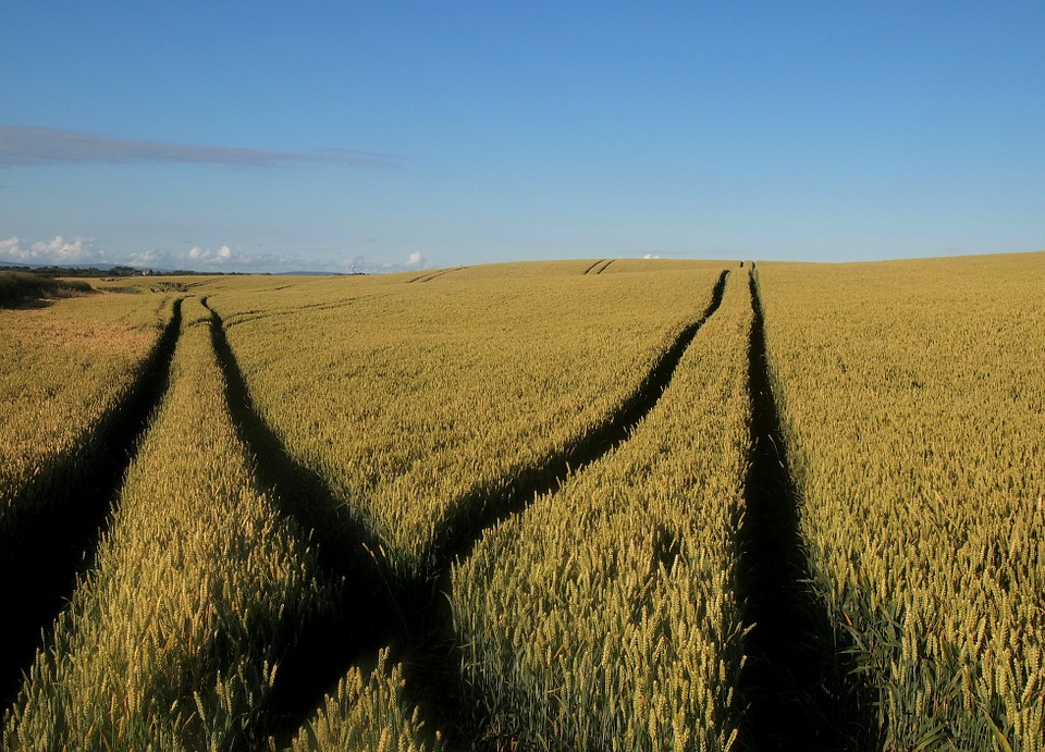 Field, Wheat, Wheat Field, Agriculture, Nature, Summer