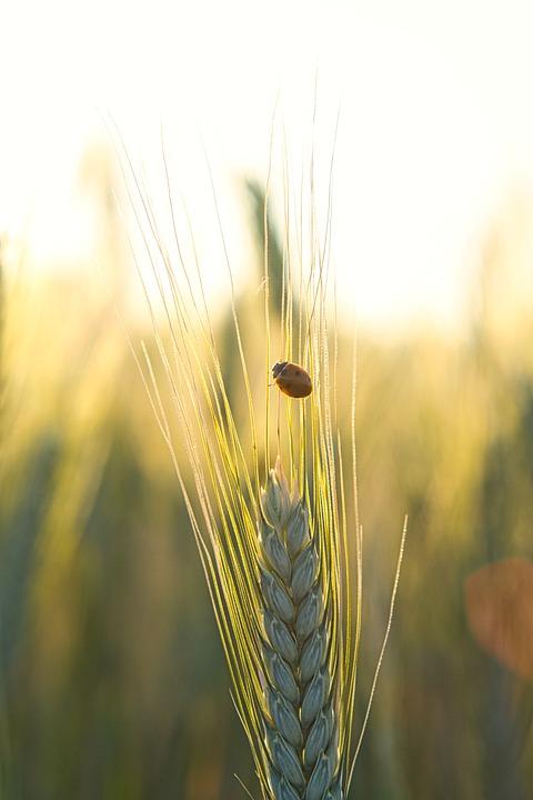 Ladybug, Insect, Wheat, Wheat Field, Beetle, Nature
