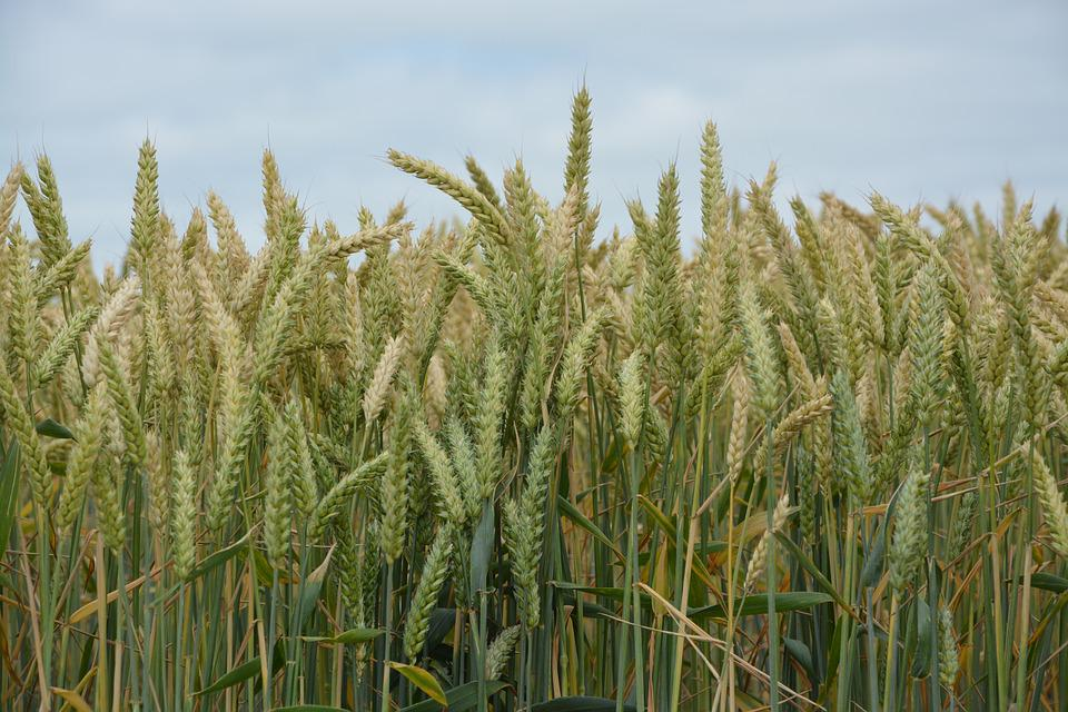 Cereals, Wheats, Fields, Wheat-hard, Agriculture