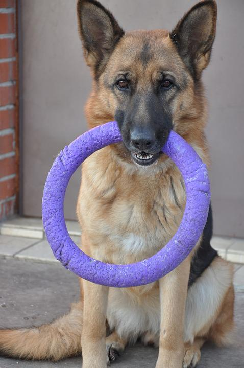Dog, Shepherd, Wheel