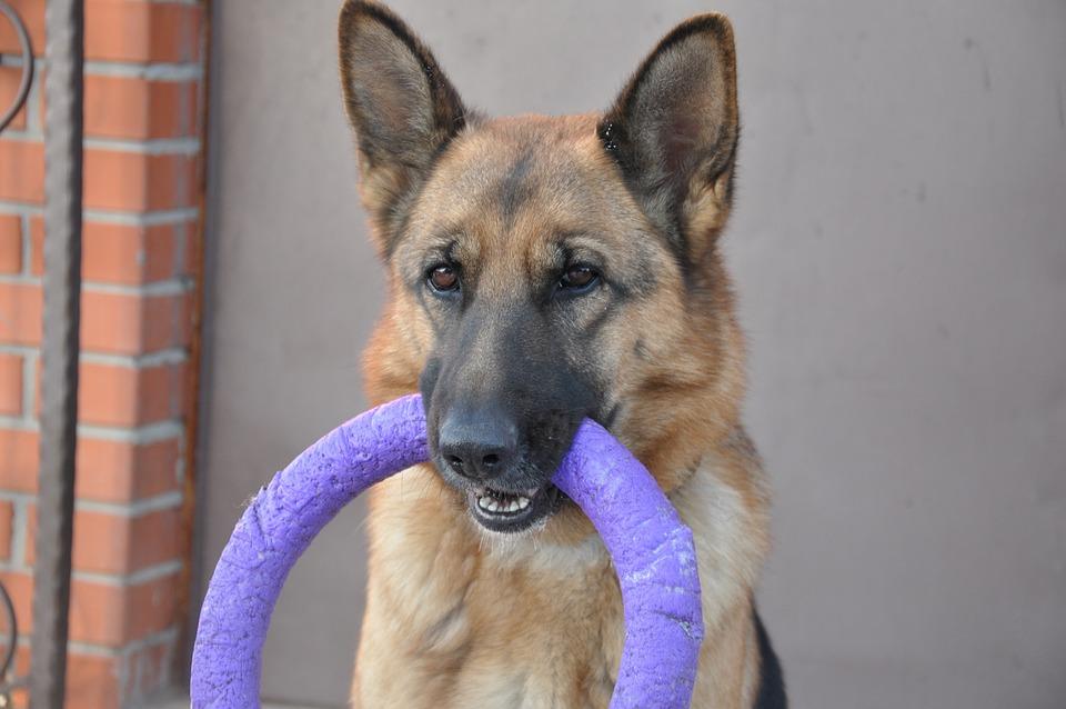 Dog, Shepherd, Wheel, Toy, Puller, Training, Home