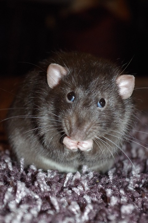 Rat, Cute, Eating, Pet, Rodent, Animal, Whisker, Fluffy