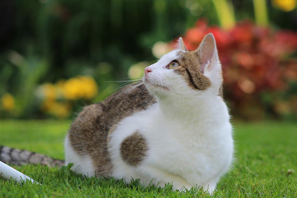 Cat, Cats, Pet, White, Cute, Whiskers, Young, Attention