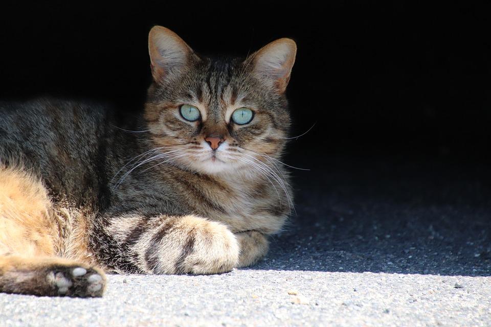 Cat, Feline, Fur, Cute, Domesticated, Whiskers