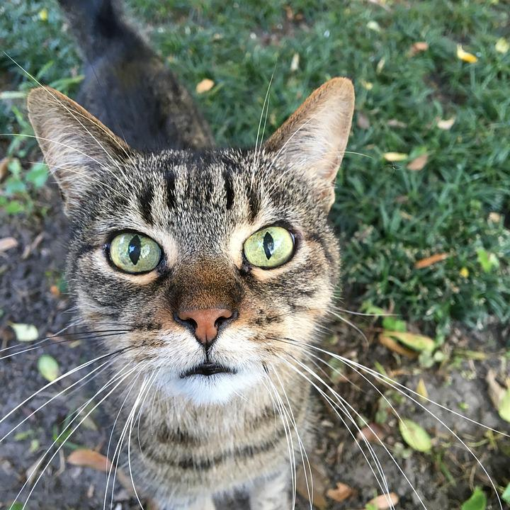 Animal, Pet, Cat, Furry, Whiskers, Tabby