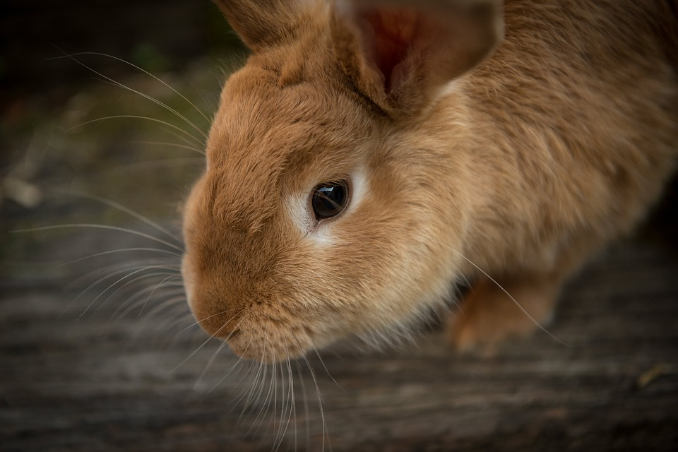 Animal, Bunny, Close-up, Cute, Pet, Rabbit, Whiskers