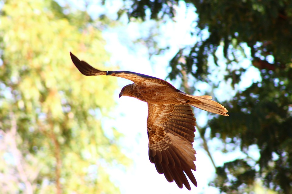 Whistling Kite, Bird Of Prey, Australia, Flight, Nature