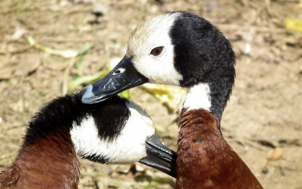White-faced, Whistling, Duck