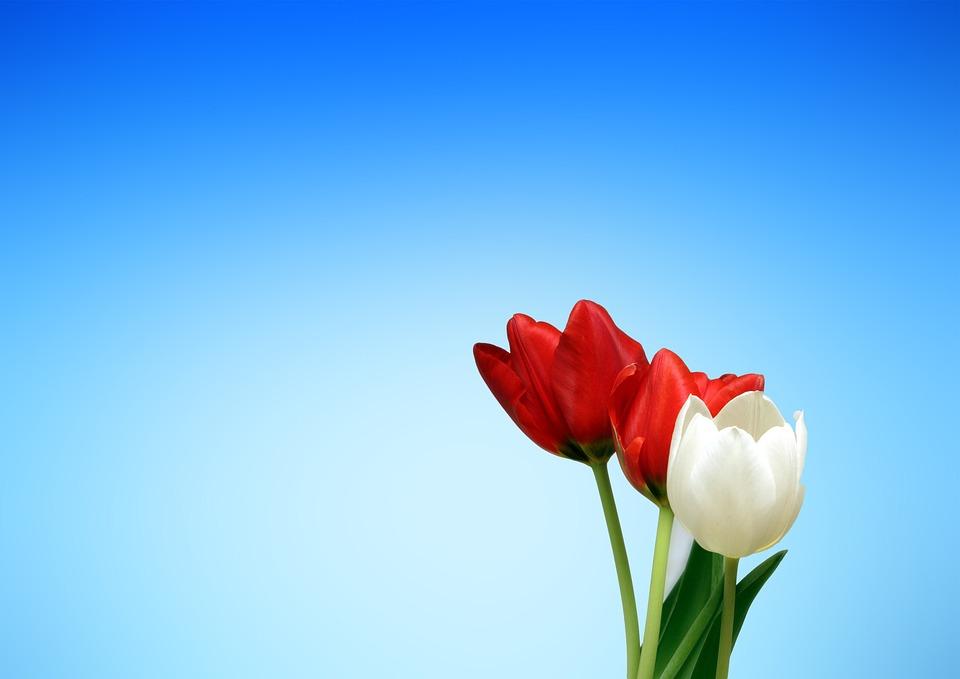Tulips, Flowers, Red, White, Spring, Aesthetics