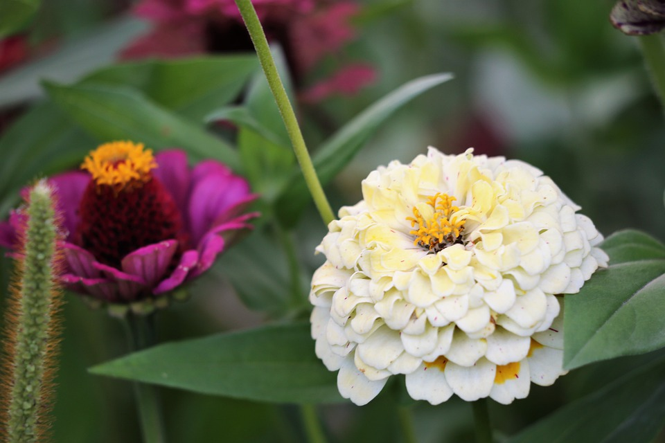 White And Purple Zinnia, Blooming, Flower, Plant