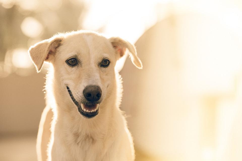 Adorable, Dog, Pet, Animal, Canine, White