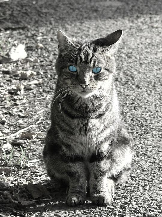 Cat, Pet, Black, White, Picture, Animal