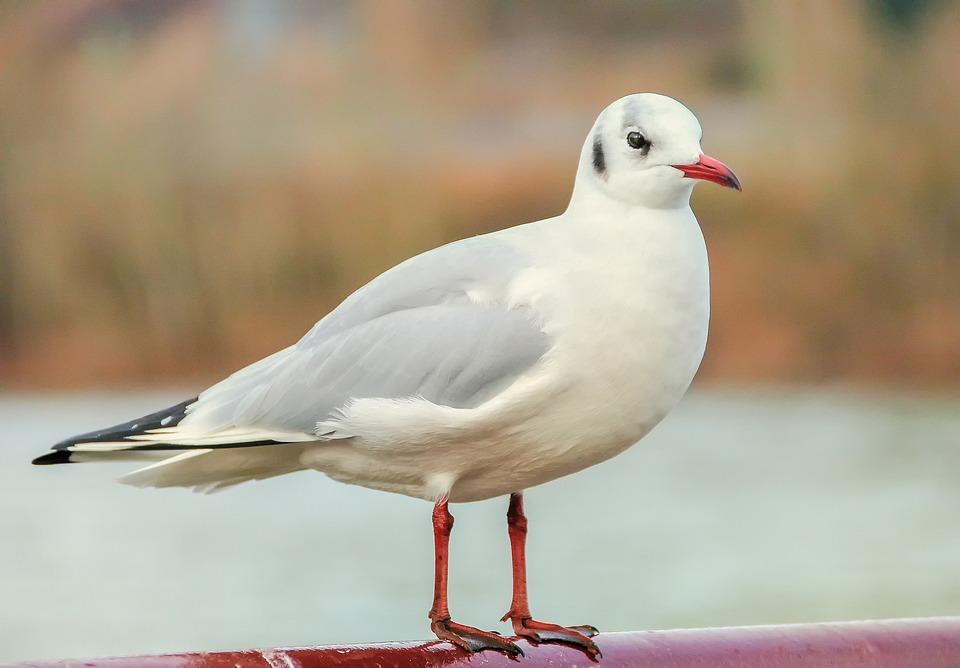Bird, Gull, River, Animal, White, Plumage
