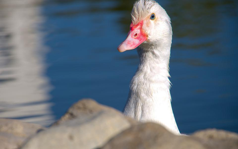 White, Duck, Bird, Stones, Lake, Goose, Swan, Animal
